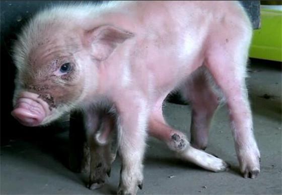 那么母猪为何会生出一头这么奇怪的小猪出来呢?明明喂食方面都很正常,怎么就只有它是这个样子呢?