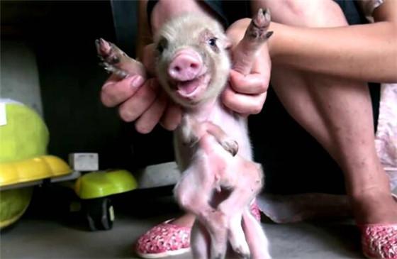 随后,专家认为畸形小猪长大的可能性不是很大,多出来的四条腿会妨碍到它的行走,也有可能会被其他小猪啃咬。