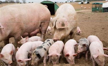 猪场一口酒,养猪人舒服猪也幸福,9种用途减少猪场损失