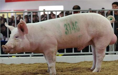 近期猪价有望上涨 需求有待提升