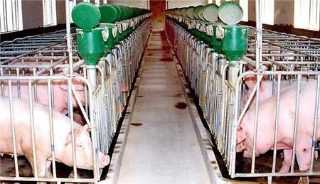 这个猪场养猪新技术,养猪人愿意接受吗?听说能多赚很多钱