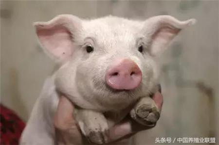 自繁养猪人的心头病,做好这一点不愁不赚钱