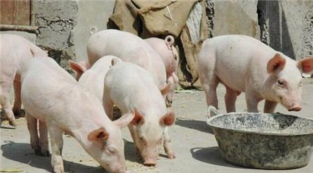 小猪换料一直拉稀怎么办?