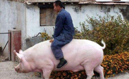 猪价上行趋势已显,手中有肥猪如何赚取更多钱?看这儿