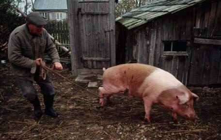 能繁母猪一降再降,存栏多少才合理……