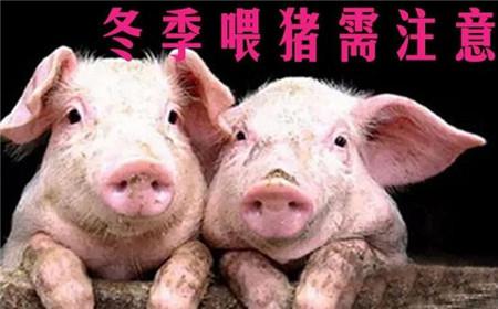 冬季养猪需注意:有些东西扔了也不能给猪吃,否则后果会很严重!