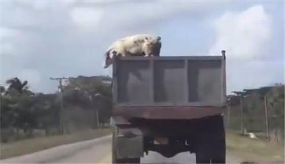 这是一只有思想的猪,为了自由,它从120迈的卡车上跳下逃走。