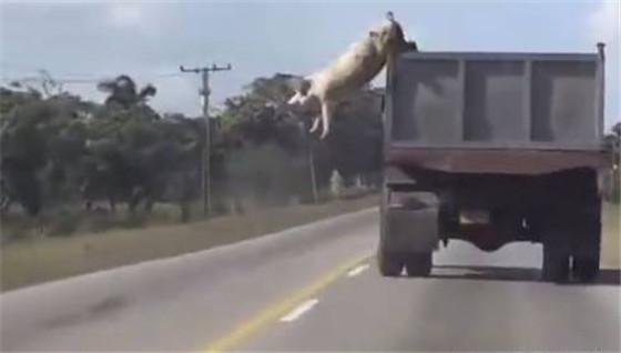 猪猪大逃亡,这是只有思想的猪,是命运的主宰者