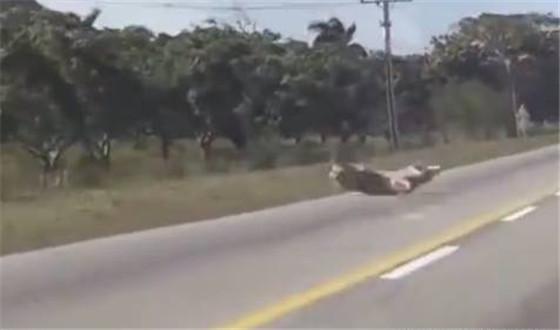 猪摔的四脚朝天,估计是没命了。