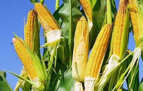 """""""政策+天气""""或助东北玉米价格企稳回升"""