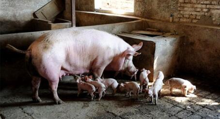 """在猪价节节攀升之机 南方却借势卖""""种"""""""