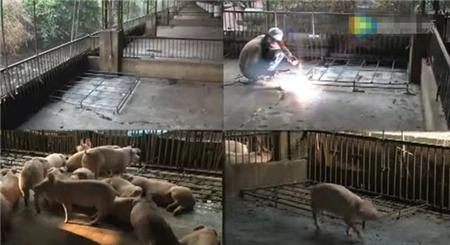 这个人工清粪的猪场是如何做到清一个猪圈仅需两分钟的