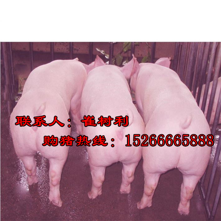 15266665888 养山东猪仔能赚大钱