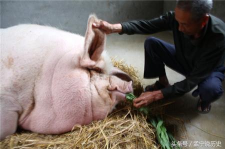 """""""猪王""""吃人参吃鹿茸9年寿终,体重达到了一吨"""