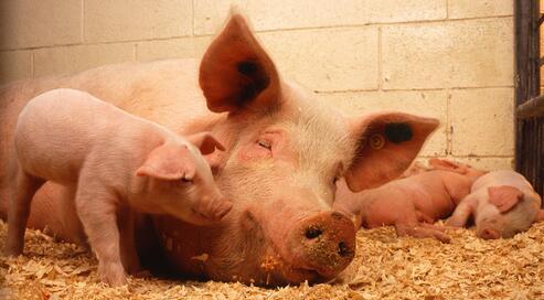 最合理状态下,我国能繁母猪存栏量该是多少?