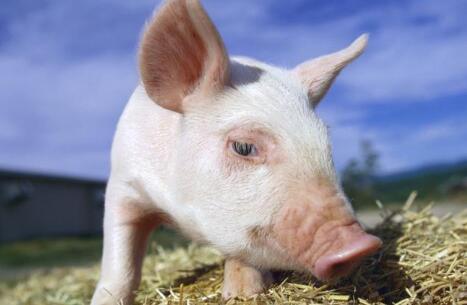 12月猪价上涨大势已定,仍有五大因素需警惕!