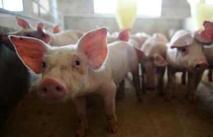 瘦肉型猪价继续领涨!大范围降温,做好保温工作