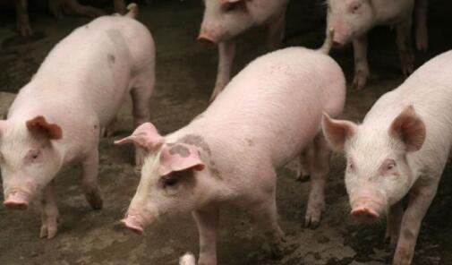能繁母猪同比减少195万头,涨?涨!涨……