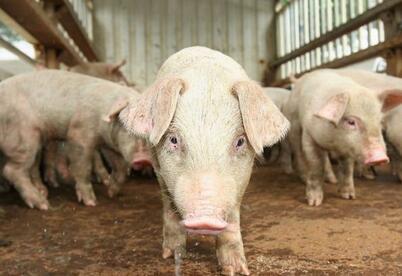猪价涨势初现,上涨区域增多,结算价微幅涨跌调整!