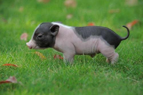 猪价涨势初现 上涨区域明显增多