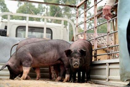 能繁母猪再减10.5万,猪周期或提前迎上涨拐点