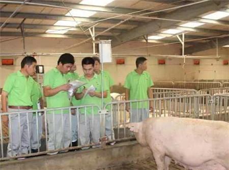 大圈饲养和定位栏,哪个饲养方式对妊娠母猪更好?