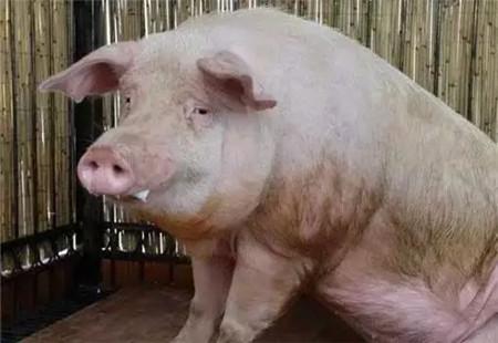 3个方案治疗猪呼吸道病有奇效,90%的猪友都不知道!