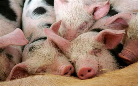 要想猪不生病而且长得快,你得这么来养猪!