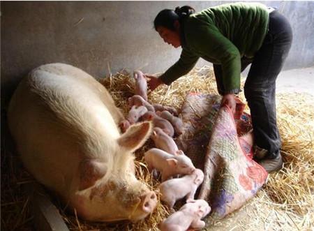 母猪胎衣千万别扔,这样利用可节省万元!