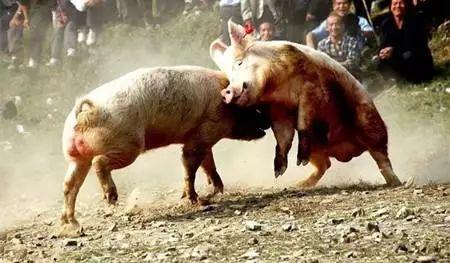 警惕!猪咬架后果很严重,不得不防!