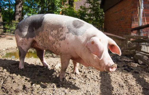 我们先简单看一下猪饲料的定义,按照营养来区分,它通常是由蛋白质饲料、能量饲料、粗饲料、青绿饲料、青贮饲料、矿物质饲料和饲料添加剂组成的饲养家猪的饲料。