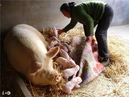 母猪胎衣用途这么大?提高仔猪成活率、预防各类疾病都靠它