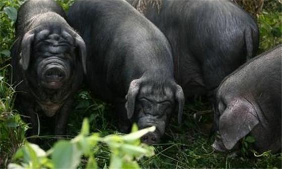 这种猪爱吃草不爱粮食,基因传承2300年珍稀程度堪比熊猫
