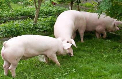 猪市调整,生猪价格悄悄上涨!12月猪价上涨已定