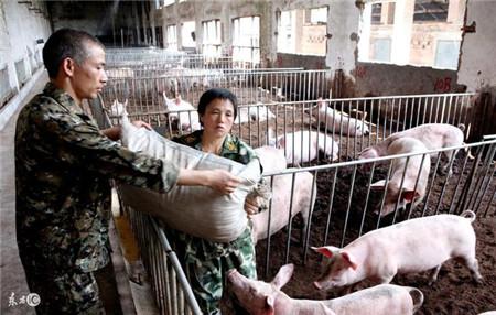 农村养殖年入十万,养猪技巧在以下几点