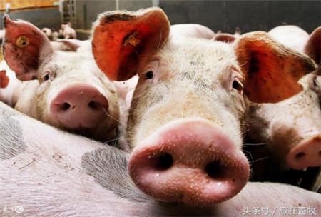 猪秋冬易患痢疾、咳嗽,简单2个中药方子解决所有问题!