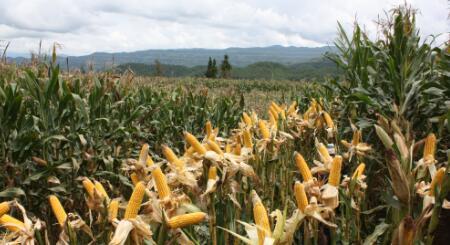 国内玉米销售高峰何时来?后市玉米行情有望上涨!