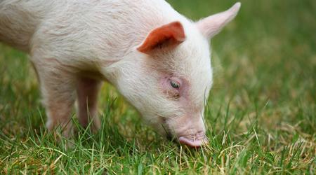 猪价悄悄上涨!养猪人准备好,12月猪价上涨已定!