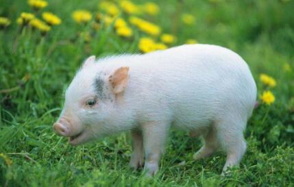 2017年11月19日(20至30公斤)仔猪价格行情走势