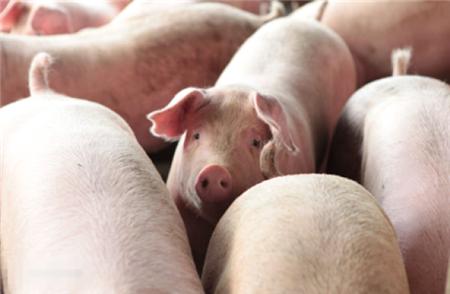 养猪大户生猪出栏数目不断增加 未来猪价还能怎么涨?