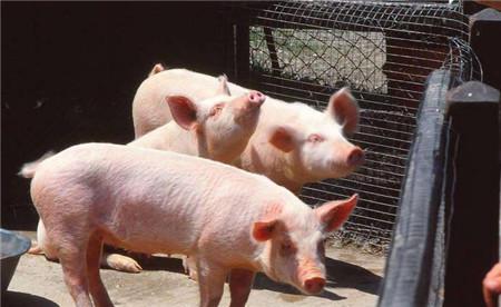 水泥能灭鼠,苹果能治猪咳嗽!这些养猪小窍门你肯定想不到