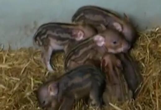 你见过养小野猪的土豪吗?现实版的土豪养猪视频