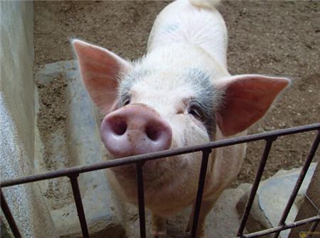 """猪不安生总是""""翻圈"""" 这个招管用!"""