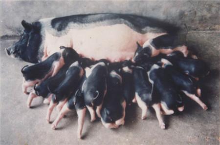 病原分离等于疾病确诊?有条件的猪场去做实验室检测,因为精准的实验室诊断技术确实能为疾病诊断和防治提供更全面可靠的参考依据,但是只根据病原分离、抗体检测等实验室诊断结果,不结合猪群临床实际表现,就确诊的做法是欠妥的,它极有可能让我们在疾病诊断和防治过程中犯以偏概全的错误,从而延误对整个猪群的健康状况的诊断和处理,造成更大的经济损失。