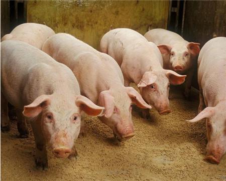 饲料中添加什么物质可提高猪采食量促进猪生长?