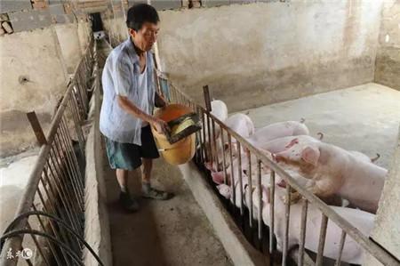 一些民间治疗猪病偏方,值得养猪户们收藏!