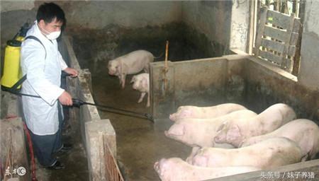 猪场如果出现蓝耳怎么办?养猪人不要着急,给你1个方案