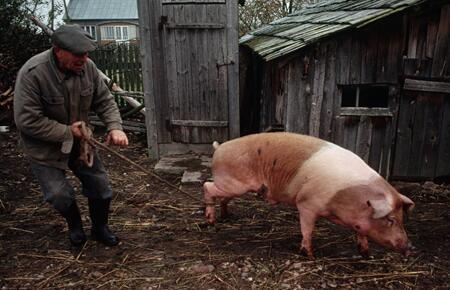 您是否适合养猪?看看这四大标准是否符合