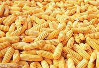 四川益乘丰达饲料厂求购玉米小麦高粱大米木薯淀粉