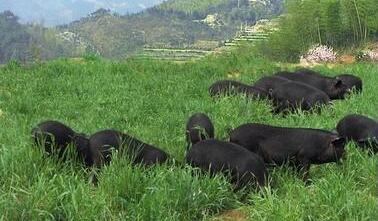 中国养猪业将进入一个怎样的发展模式?